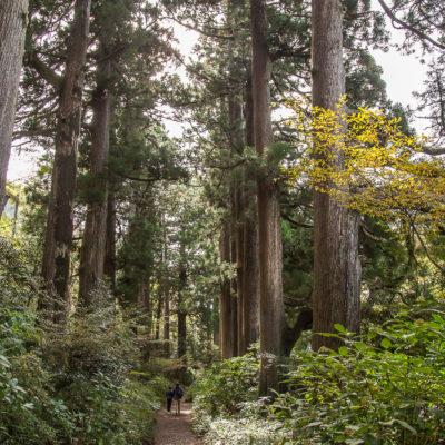 Ancient Cedar Avenue ⋅ Motohakone > Onshi Koen Mae